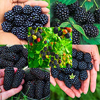 Blackberry Patch Bundle Premier Collection - buy 3 get 2 free  Click to see full-size image