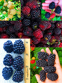 Blackberry Patch Bundle Exclusive Collection - buy 3 get 2 free  Click to see full-size image