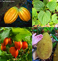 Rare Fruit Collection - 4 rare plants for half price  Click to see full-size image