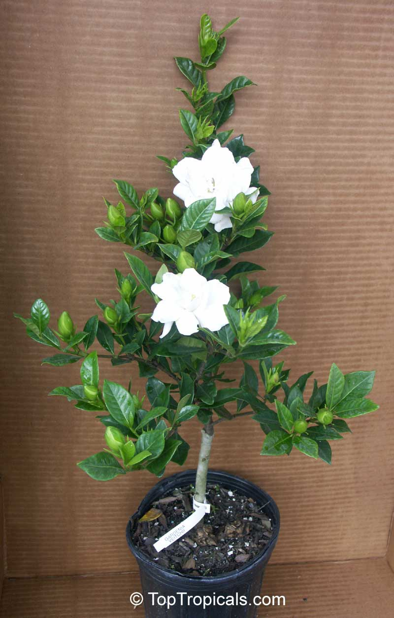 How to plant a gardenia - See Size Of The Plant For Sale
