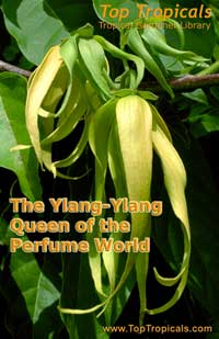The Ylang-Ylang - Queen of the Perfume World - book - PDF file download   Click to see full-size image
