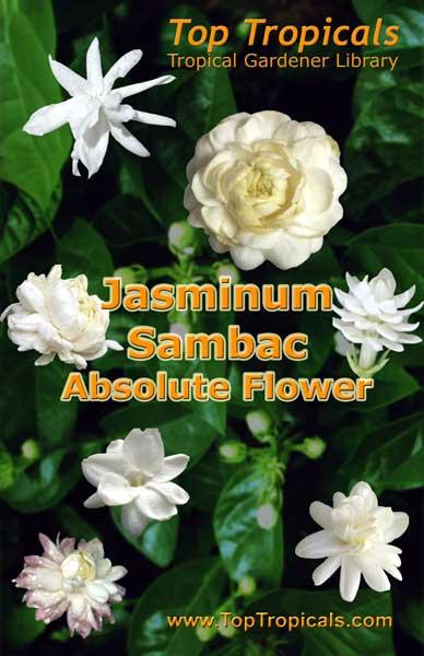 ed090be861c Jasminum Sambac - TopTropicals.com