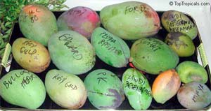 http://www.toptropicals.com/pics/tropics/articles/fruits/mango_recipes/02s.jpg