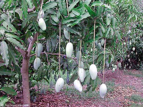 Тропики на подоконнике Как едят манго