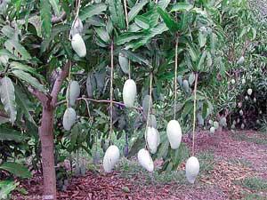 http://www.toptropicals.com/pics/tropics/articles/fruits/mango_recipes/03s.jpg