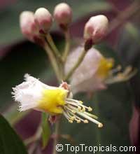 Hiptage benghalensis, Hyptage bengalensis, Hiptage, Helicopter Flower