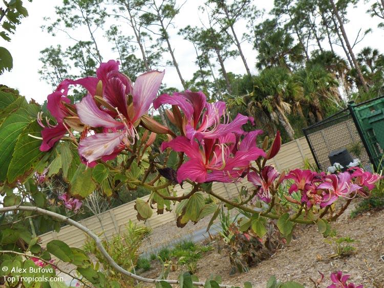 Красавица баухиния приветствует