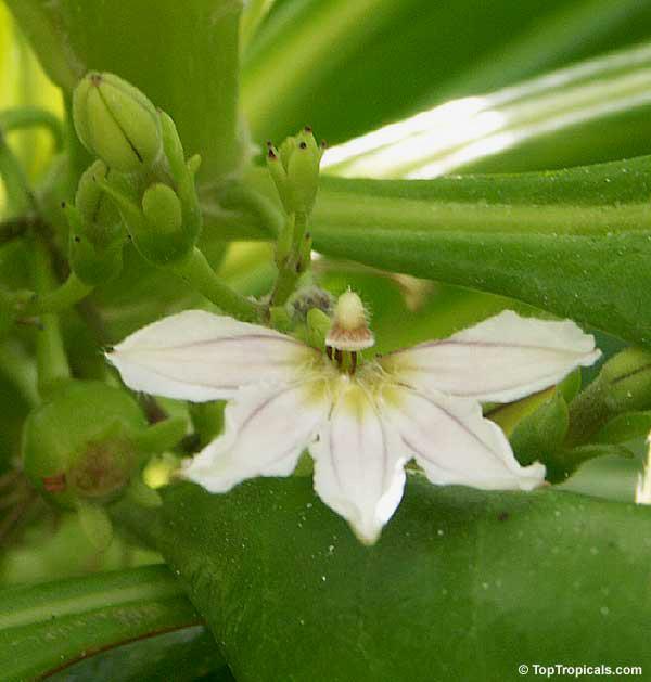 Наупака цветок прибоя